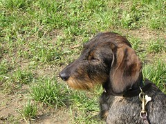 basset hound(0.0), hound(0.0), segugio italiano(0.0), bavarian mountain hound(0.0), grand bleu de gascogne(0.0), dachshund(0.0), animal(1.0), dog(1.0), pet(1.0), mammal(1.0), german wirehaired pointer(1.0), hunting dog(1.0),