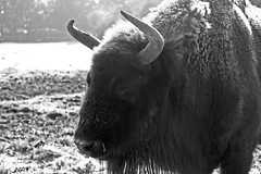 ox(0.0), cattle(0.0), cattle-like mammal(1.0), animal(1.0), bull(1.0), mammal(1.0), horn(1.0), monochrome photography(1.0), fauna(1.0), muskox(1.0), monochrome(1.0), yak(1.0), bison(1.0), black-and-white(1.0), black(1.0), wildlife(1.0),