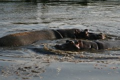 Common hippos