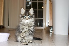 domestic long-haired cat, animal, maine coon, small to medium-sized cats, pet, siberian, american shorthair, cat, carnivoran, whiskers, norwegian forest cat,