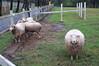 Photo:Sheep watching me By yamada*