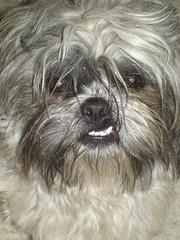 dog breed, animal, dog, pet, tibetan terrier, mammal, havanese, lhasa apso, affenpinscher, eye,