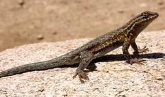 animal, reptile, lizard, fauna, lacerta, dactyloidae, agamidae, scaled reptile, wildlife,