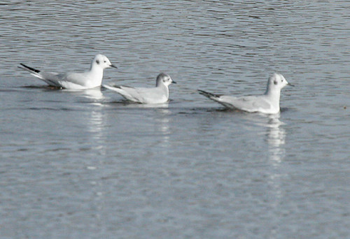 Little and Bonaparte's Gulls