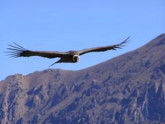 animal, bird of prey, eagle, wing, vulture, accipitriformes, bird, flight, condor,
