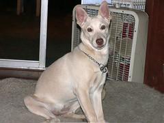 dog breed, animal, dog, pet, ibizan hound, carnivoran,