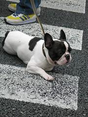 animal(1.0), dog(1.0), pet(1.0), mammal(1.0), toy bulldog(1.0), french bulldog(1.0), boston terrier(1.0), bulldog(1.0),