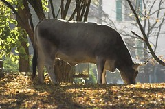sunlight on a cow