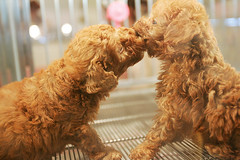 standard poodle(0.0), toy poodle(1.0), miniature poodle(1.0), dog breed(1.0), animal(1.0), dog(1.0), schnoodle(1.0), pet(1.0), lagotto romagnolo(1.0), mammal(1.0), poodle crossbreed(1.0), poodle(1.0), cockapoo(1.0), goldendoodle(1.0), cavapoo(1.0), barbet(1.0), american water spaniel(1.0),