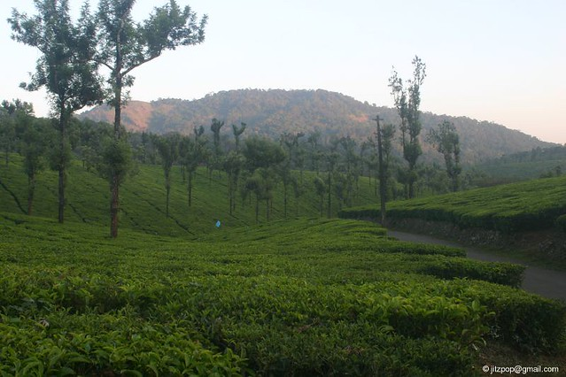 Tea Garden at Nelliampathy