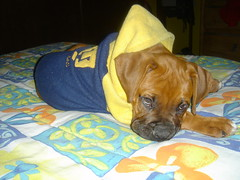 puppy(0.0), animal(1.0), dog(1.0), puggle(1.0), yellow(1.0), pet(1.0), mammal(1.0), boxer(1.0),