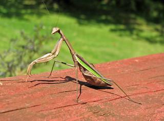 Tenodera sinensis (Chinese praying mantis) (Newark, Ohio, USA) 3