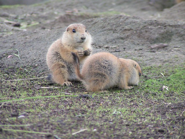 Baby prairie dogs | Flickr - Photo Sharing!