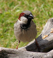 animal, sparrow, fauna, finch, emberizidae, beak, house sparrow, bird, wildlife,