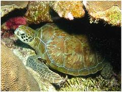 animal, turtle, box turtle, reptile, loggerhead, organism, marine biology, fauna, emydidae, sea turtle, tortoise,