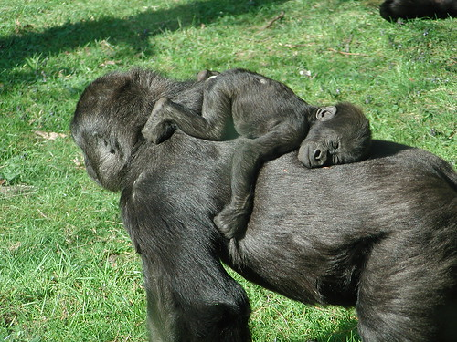 Baby gorilla sleeping on his mother, by bartdubelaar