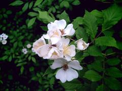 shrub, flower, plant, wildflower, flora, produce, rosa multiflora, rosa pimpinellifolia, petal,