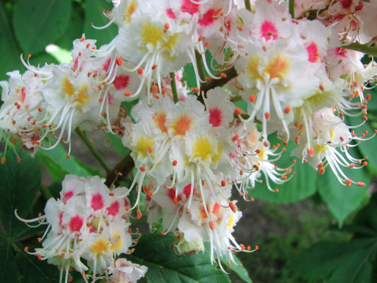 Pink Flowering Horse Chestnut Tree images