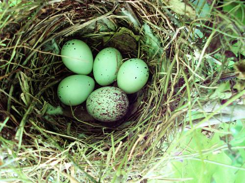 The Cowbird's Nest