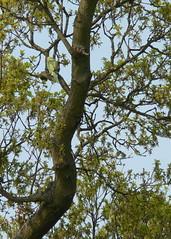 Parakeet, outside Mickleham