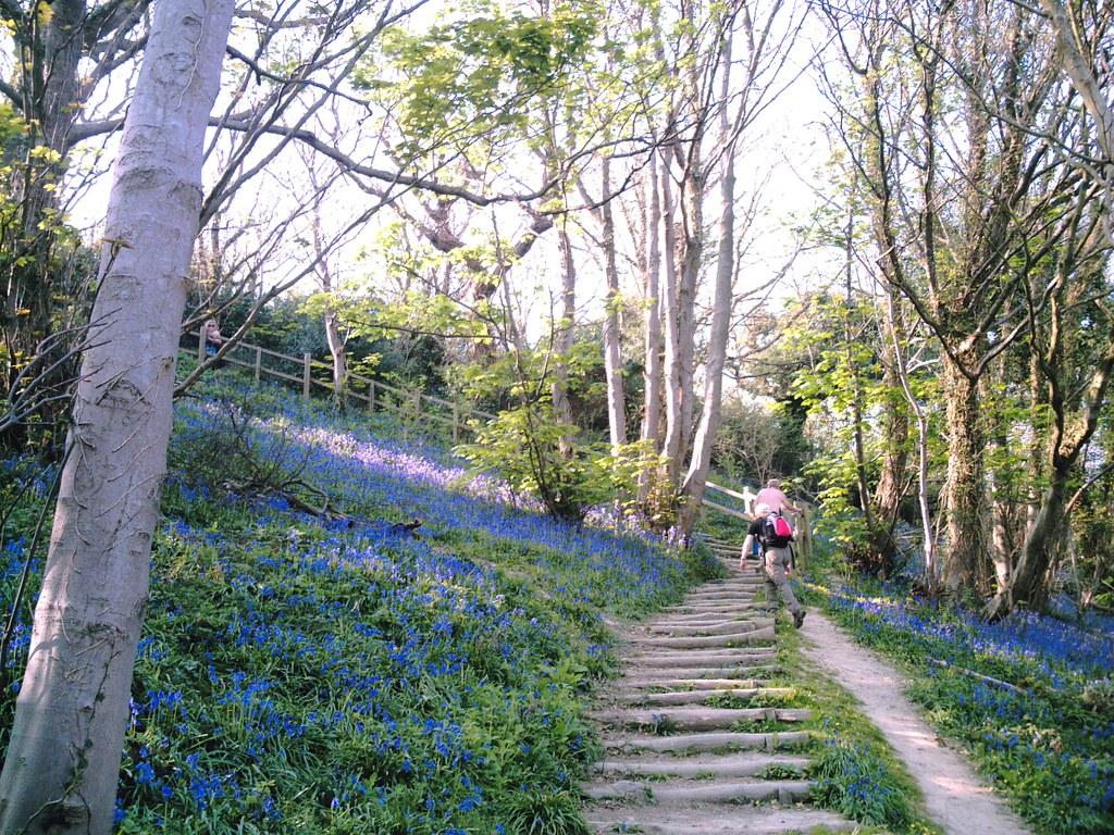 Winchelsea to Hastings Bluebells silver birch and steps at Warren Glen. D.Allen 5mp Vivitar 5199