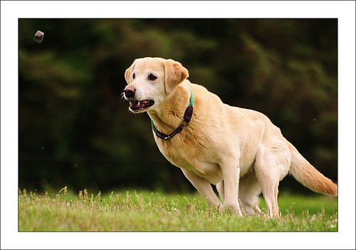Labrador Retriever catching a toy