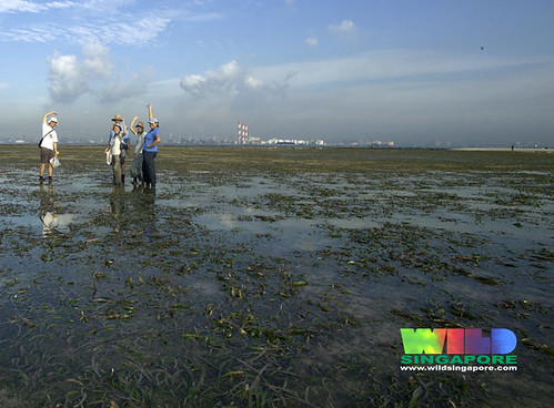Vast seagrass meadows, Cyrene Reef, Singapore