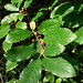 Carolina Buckthorn - Photo (c) Gravitywave, some rights reserved (CC BY-NC-SA)