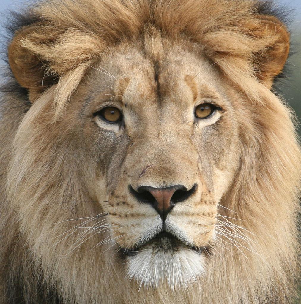 Lion King Izu by kjdrill