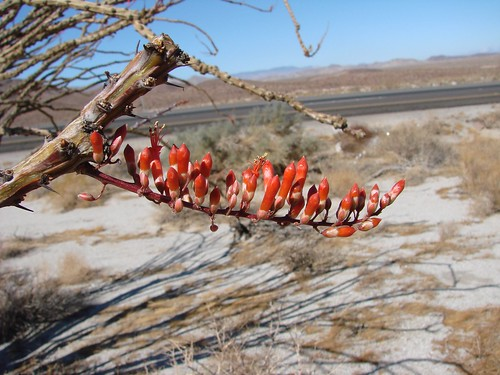 Ocotillo buds, Imperial County, CA