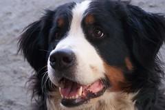 moscow watchdog(0.0), appenzeller sennenhund(0.0), dog breed(1.0), animal(1.0), dog(1.0), pet(1.0), greater swiss mountain dog(1.0), entlebucher mountain dog(1.0), bernese mountain dog(1.0), carnivoran(1.0),