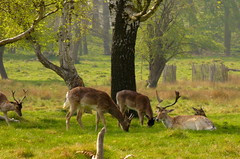 richmond park deer 2