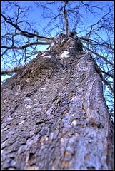 Little Woman, Big Tree