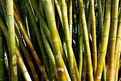 branch(0.0), crop(0.0), plant stem(0.0), bamboo(1.0), green(1.0), cane(1.0),
