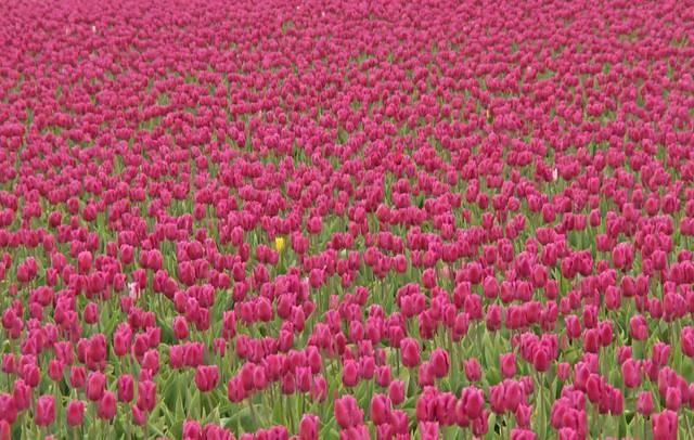 ▀ زهور التوليب Tulip Flowers صور ومعلومات ▀ 456123447_2f2173c268_z.jpg?zz=1