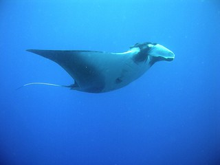 My manta ray's alright...