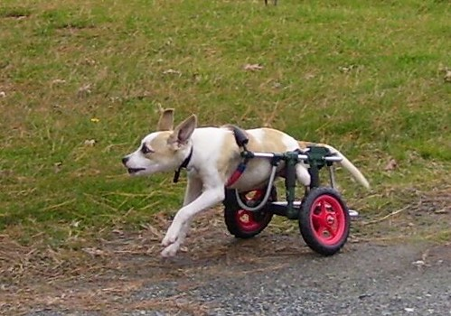 Toby Flying in His Doggie Wheelchair