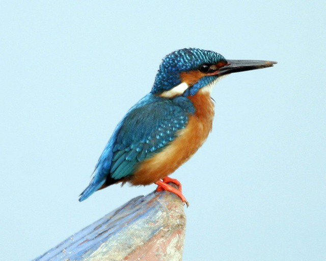 Header of Alcedo atthis taprobana