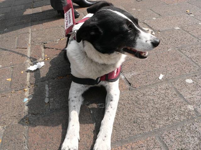 Image Result For Hearingistance Dog