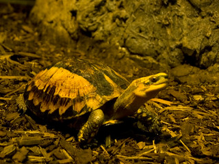 Vietnamese Box Turtle (I think)