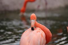 flamingo #2