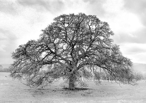 B&W Wide Valley Oak