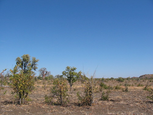 Mopani bush