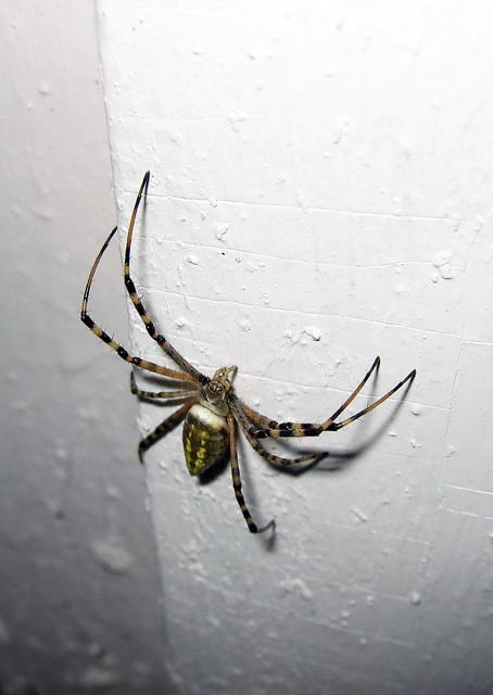 A Yellow Spotted Spider From The Front Flickr Photo