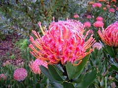 flower, wildflower, flora, protea, proteales,