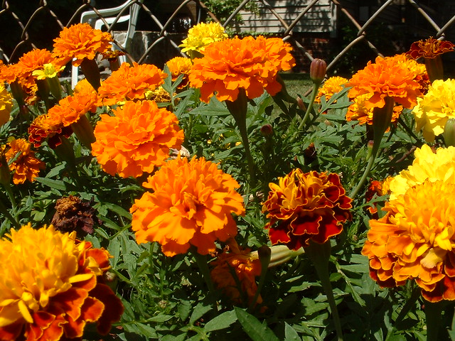 Mexican Marigolds   Flickr - Photo Sharing!