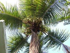 arecales, coconut, palm family, branch, leaf, tree, produce, food,