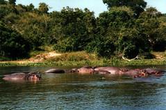 Hippos, Murchison Falls National Park