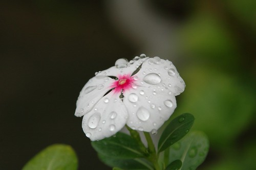 Waterdrop on the flower 1