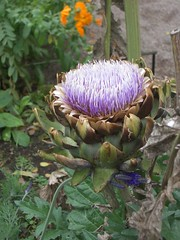 asterales, flower, thistle, plant, wildflower, flora, produce, silybum, artichoke thistle,